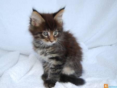 Chatons Maine Coon loof