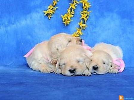 chiots types golden retriever