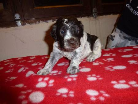 Chiots lagotto romagnolo disponibles