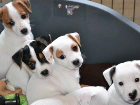 Chiots Jack Russell Terrier