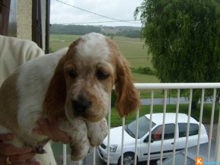 CHIOTS TYPES SETTER ANGLAIS