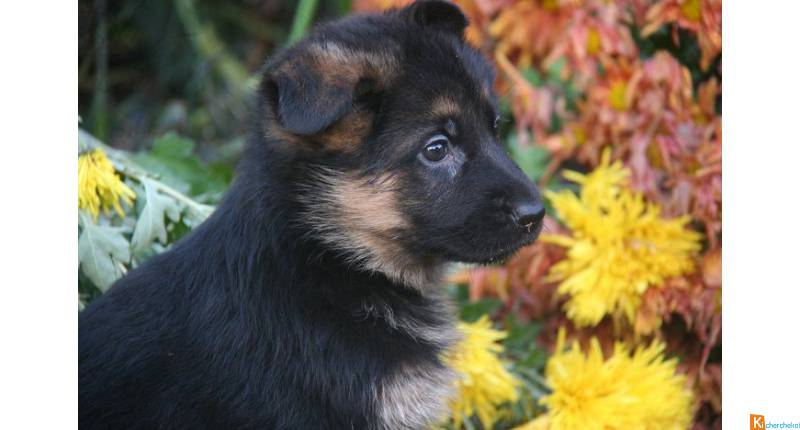 Adorables Chiots types berger allemand
