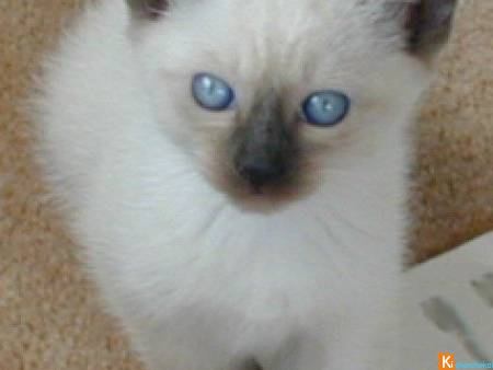 Chatons type siamois