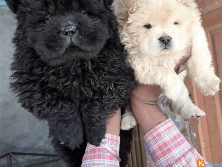 5 chiots types chow chow poil long