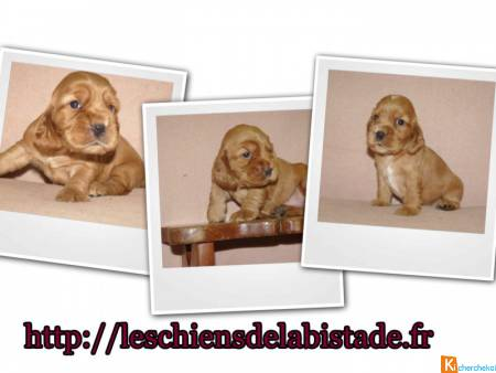 adorables chiots cocker anglais