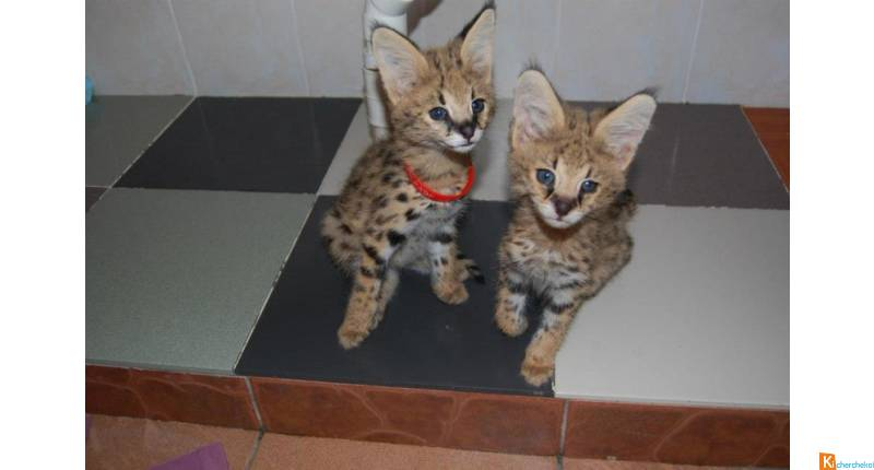 Chatons  savannah disponible