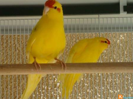 Couple Kakariki jaune
