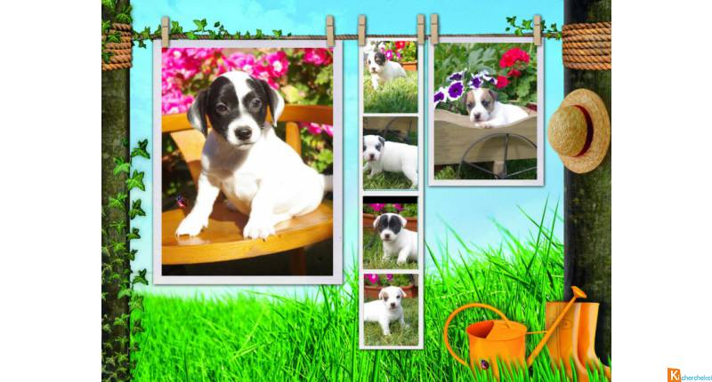 adorables chiots type jack russel