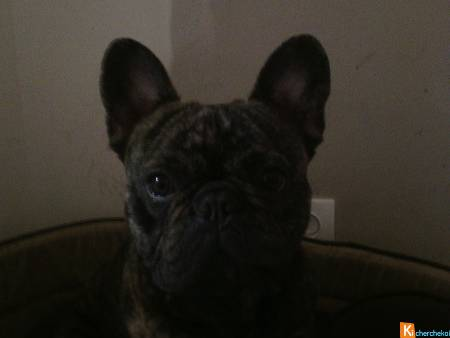 SAILLIE BOULEDOGUE FRANCAIS