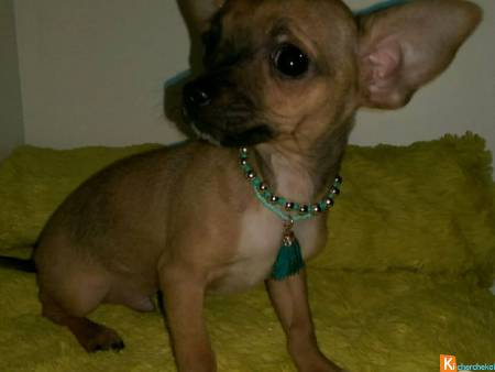 A DONNER CHIOT TYPE CHIHUAHUA