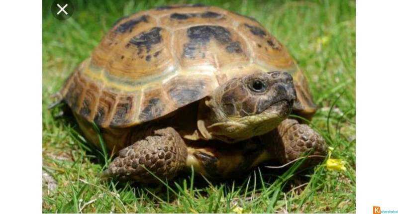 Couple tortue des steppes adulte