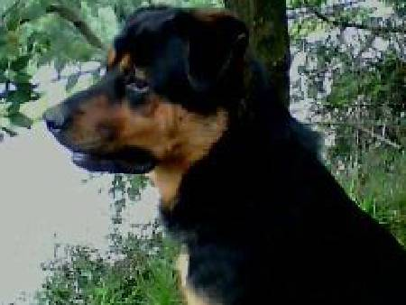 rotteweiller croise beauceron
