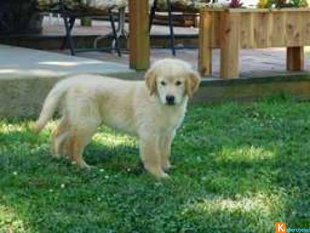 Donne chiot golden retriever