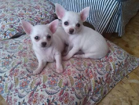 Chiot chihuahua 1 male et 1 femelle