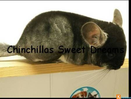 Chinchilla Black velvet port. GOLDBAR élevage fam