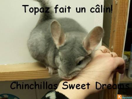 jeune chinchilla blue diamond (rare) élevage fam r