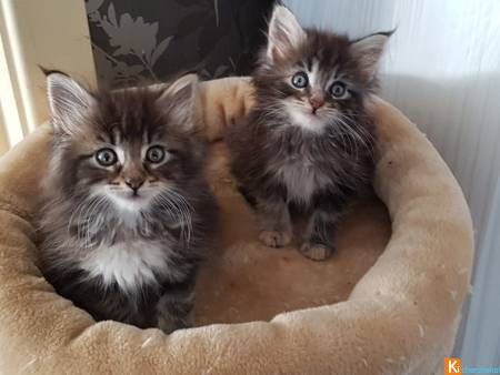 chatons Maine coon dispo pour adoption