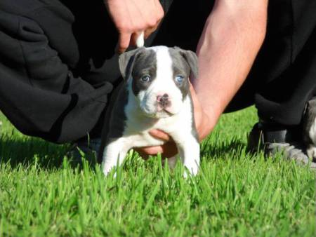 A donner Magnifique chiot american bully